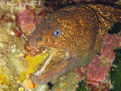 A mean looking Speckled Moray (Gymnothorax obesus) with w... by Brian Mayes 